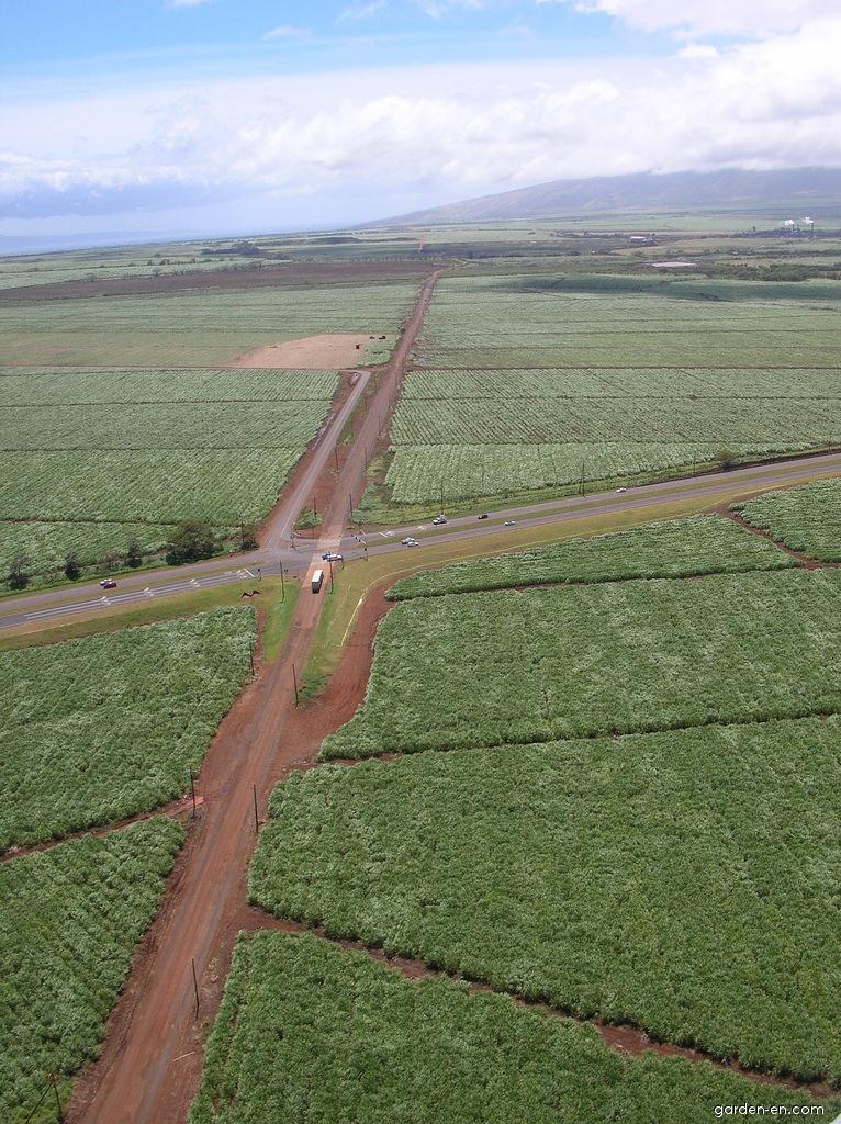 Sugar Cane - habitat (Saccharum officinarum)