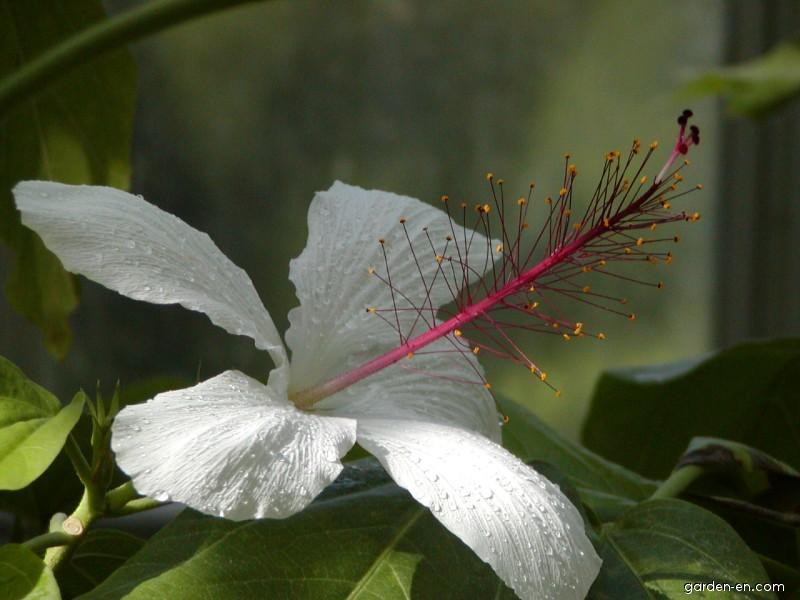 Ibišek čínská růže White wings (Hibiscus rosa sinensis)
