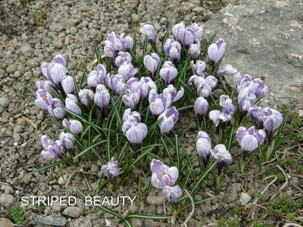 Spring Crocus - Crocus vernus Striped Beauty