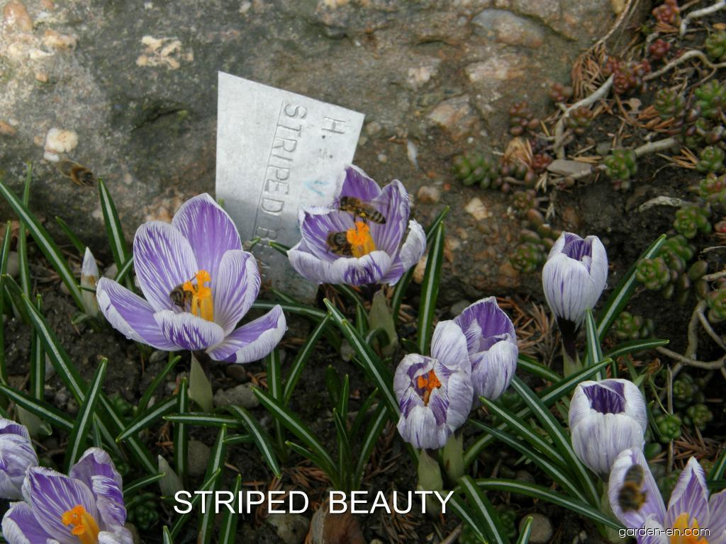 Crocus vernus Striped Beauty (Spring Crocus)