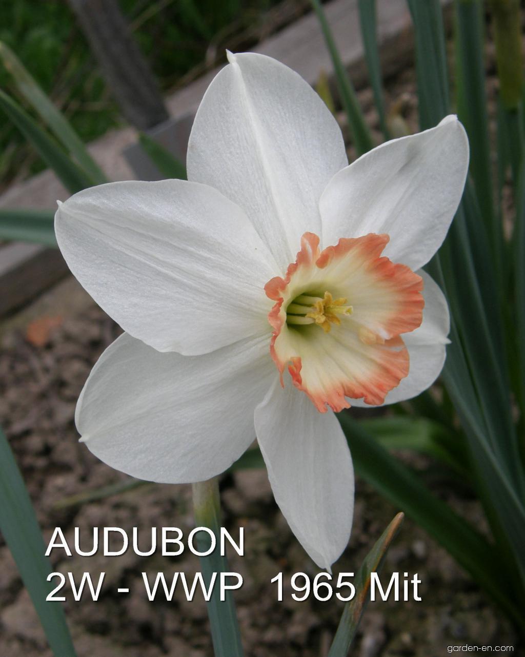 Daffodil - Narcissus Audubon
