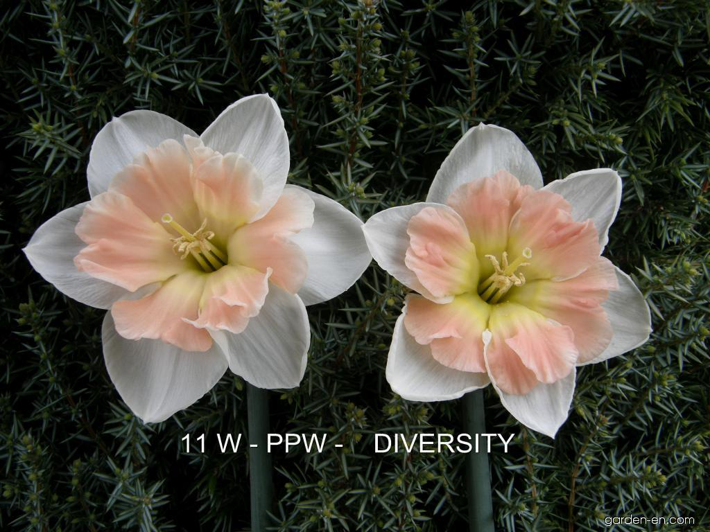 Daffodil - Narcissus Diversity