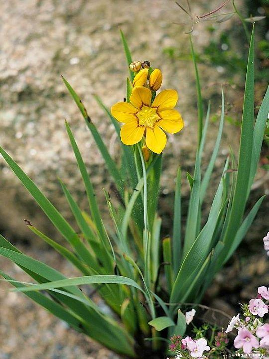 Badil (Sisyrinchium macrocarpum)