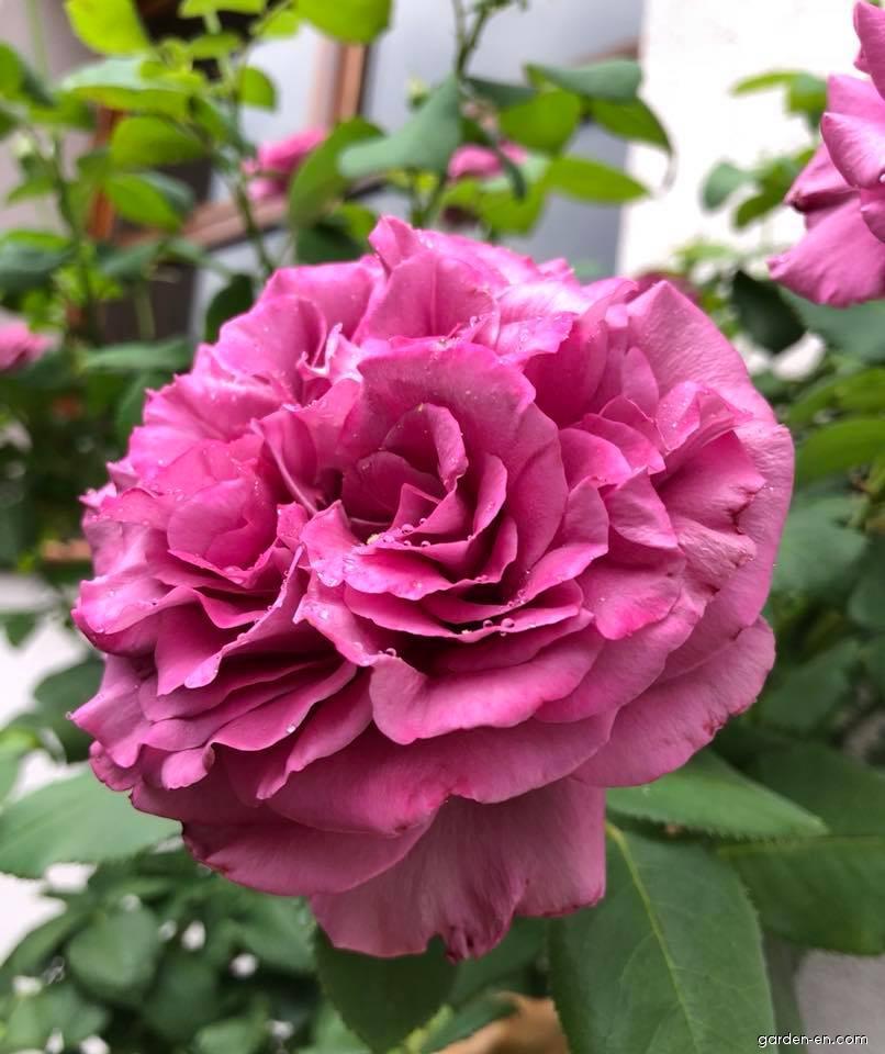 Růže Sissi - velkokvěté růže, čajohybridy (Rosa)
