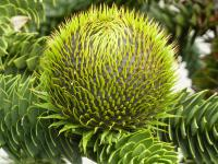Araucaria araucana   Monkey-puzzle fruits