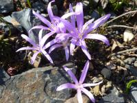 Colchicum bulbocodium   Spring Meadow Saffron flowers