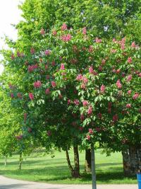 Aesculus x carnea   red horse-chestnut plant
