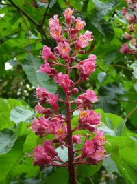 Aesculus x carnea   red horse-chestnut flowers