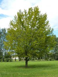 Fagus sylvatica   - red beech
