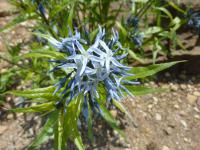 Amsonie - květ (Amsonia illustris)