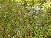 Aster dumosus  'Lady in Blue' - Rice Button Aster