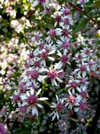 Symphyotrichum lateriflorum      'Horizontalis'  Calico Aster flowers
