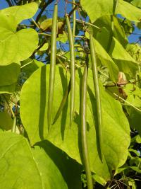 Catalpa bignonioides   Indian-bean-tree fruits