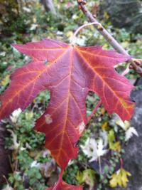 Acer saccharinum   silver maple leaves