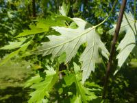 Acer saccharinum   silver maple leaves back face