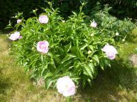 Paeonia lactiflora 'Fancy Nancy'  Chinese Peony plant