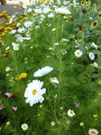 Cosmos bipinnatus 'White double'  Mexican Aster plant