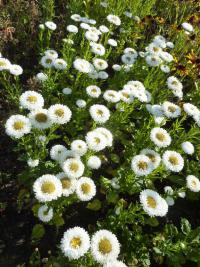Callistephus chinensis 'White Matsumoto'  - China Aster