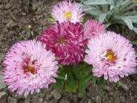 Callistephus chinensis 'Red Ribbon'  - China Aster