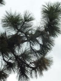 Borovice Jeffreyova (Pinus jeffreyi)