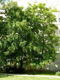 Cladrastis kentukea   - American Yellowwood