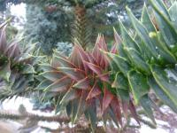 Araucaria araucana   Monkey-puzzle leaves back face