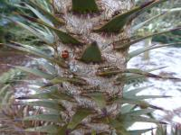 Araucaria araucana   Monkey-puzzle ross or bark