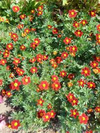 Tagetes patula  'Disco Red'  French Marigold plant