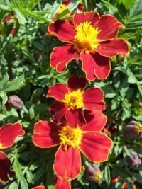 Tagetes patula   'Disco Red'  French Marigold flowers