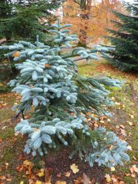 Abies procera  Argentea - Noble fir