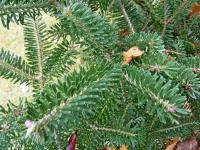 Abies koreana   Korean fir needle