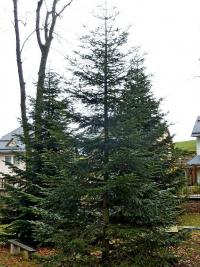 Abies grandis   - Giant fir