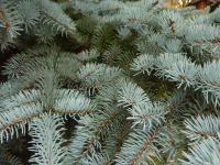 Picea pungens  'Argentea'  Colorado Spruce twings