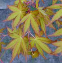 Acer palmatum      'Wabito'  Japanese maple leaves