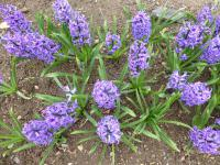 Hyacinthus orientalis      'Blue Jacket'  Common Hyacinth plant