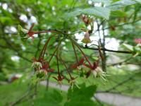 Acer circinatum   vine maple flowers