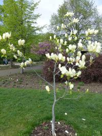 Magnolia acuminata  'Yellow Fever' - Cucumber-tree