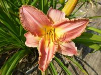 Denivka 'Chicago Bride' (Hemerocallis)