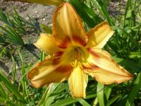 Denivka 'Tiger Eye Hager' (Hemerocallis)