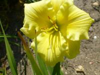 Denivka 'Texas Choice' (Hemerocallis)