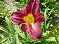 Denivka 'Rebel' (Hemerocallis)