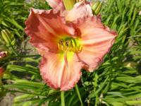 Denivka 'Gentle Humor' (Hemerocallis)