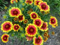 Gaillardia aristata  'Arizona Sun' - gailliardia