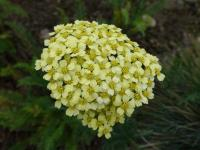 Achillea millefolium   'Yellowstone'  Yarrow flowers