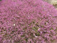 Erica carnea  'Challenger' - Winter Heath