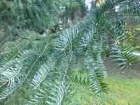 Abies balsamea   balsam fir needle