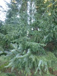 Abies balsamea   balsam fir twings