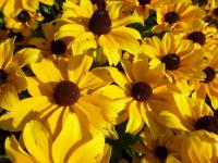 Rudbeckia hirta      'Toto Gold'  Black-eyed Susan flowers