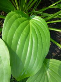 Hosta        'Royal Standard'  Plantain Lily leaves