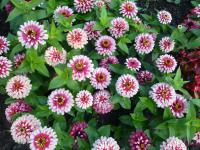 Zinnia elegans 'Swizzle Cherry and Ivory'  Youth-and-age plant